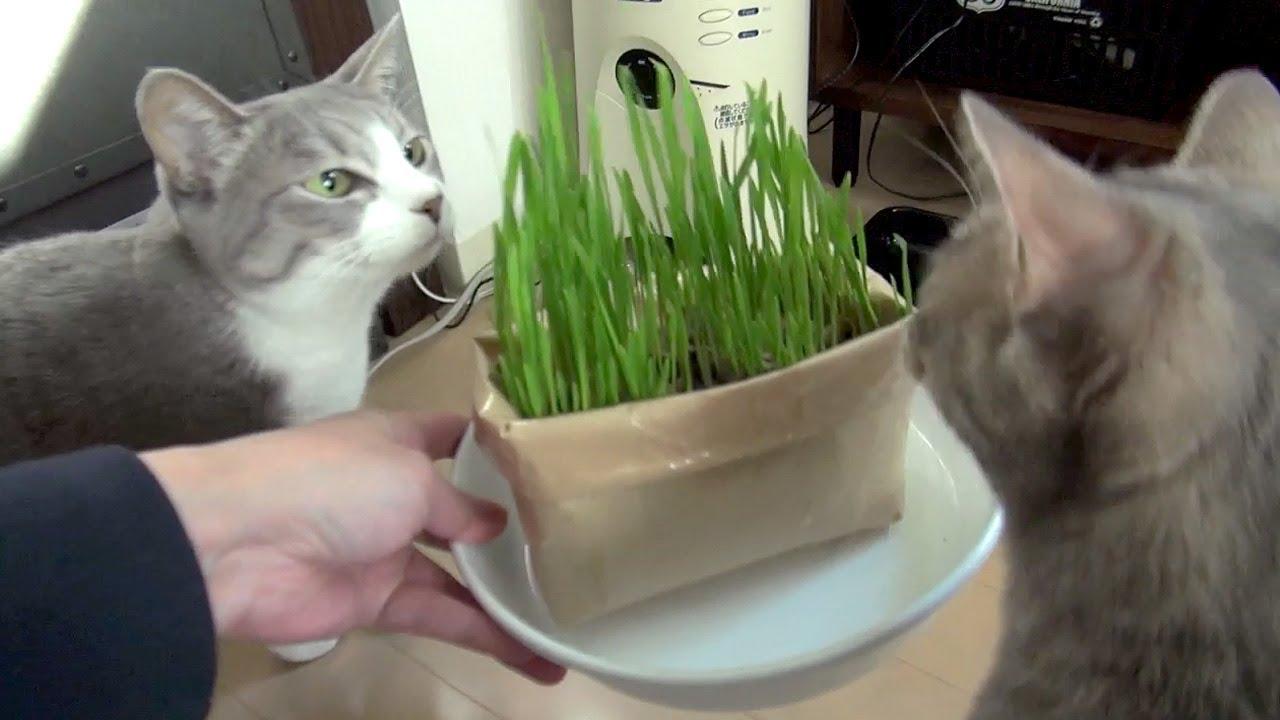 猫草ヒャッハー